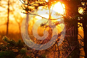 Cobwebs at sunset in a pine forest