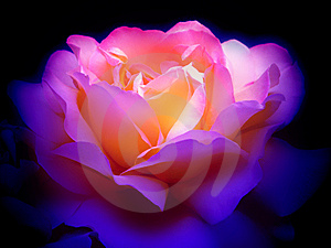 Colorful rose in the dark