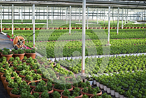 Commercial plants growing in greenhouse