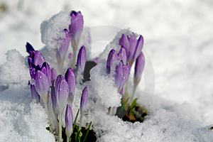 Crocus in the snow (spring)