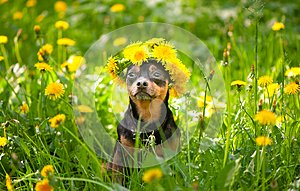 Cute puppy, a dog in a wreath of spring flowers on a flowering