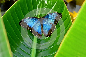 Female Blue Morpho Butterfly