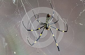 Female Joro Spider in a web ventral view