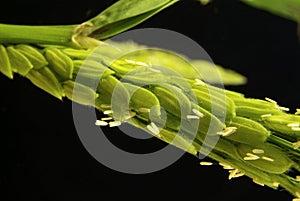 Flowering in rice