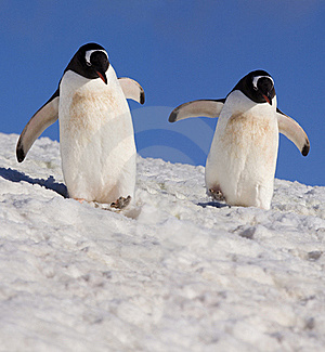 Gentoo Penguins - Antarctica - Stock Photos Antarctica Tourists Locations