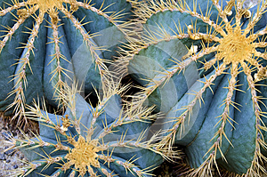 Globe cactus plants closeup