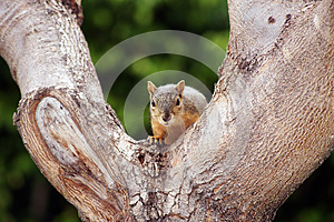 Gray Squirrel Tree Staring