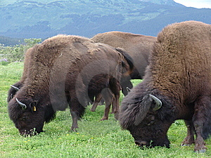 Grazing buffalo herd