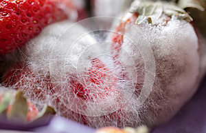 Grey-white great mould on red fresh strawberries