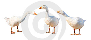 Gruppe gooses