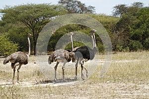 Herd of African Ostrich