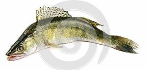 Hornhautflecke zander Fische