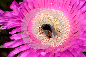 Hottentot Fig and Bombus