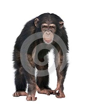 Junger Schimpanse, der die Kamera - Simia tro betrachtet