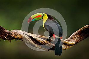 Keel-billed Toucan, Ramphastos sulfuratus, bird with big bill. Toucan sitting on branch in the forest, Guatemala. Nature travel in