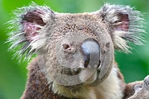 Koala in Australia - Stock Photos South Pacific Sightseeing Sites