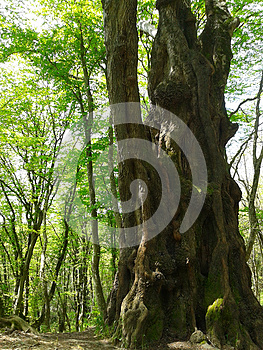 Large ancient tree in spring forest