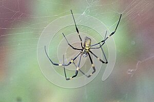 Large Female Joro Spider dorsal view in a web