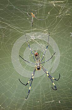 Large Female Joro Spider and small male in a web