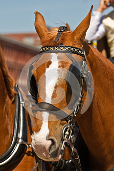 Light brown draught-horse with blinkers