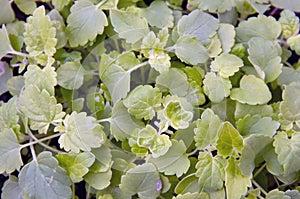 Lush catnip plant fills frame