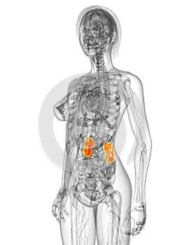 Markierte Nieren
