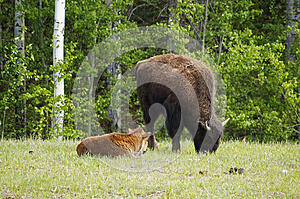 North American Wood Bison