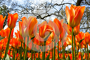 Orange tulips in flower garden
