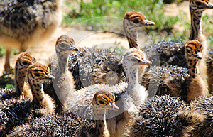 Ostrich chicks in South Africa
