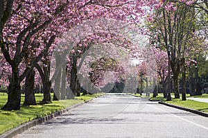 Pink Blossom tree road