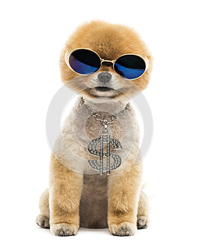 Pomeranian dog sitting, wearing dollar necklace and blue sunglas