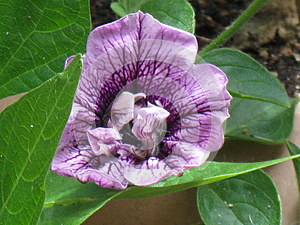 Purple double petunia close-up