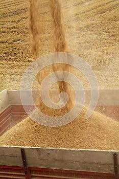 Raccolta meccanizzata del riso