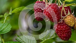 Raspberries hanging on  branch