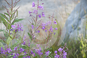 Rosebay Willow-herb Fireweed (Chamerion angustifolium)