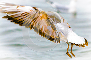 Seagull gold wings speed fly motion blur