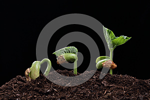 Seedling of bean seed in soil