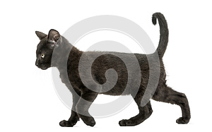 Side view of a Black kitten walking, 2 months old, isolated