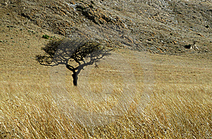Single Thorn Tree in Grass Field with mountain