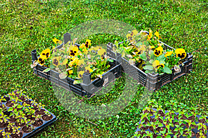 Spring in the garden. Flower seedlings in box on green grass from above. Background layout with free copyspace