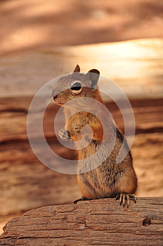 Squirrel in grand canyon - Best Deal Grand Canyon Arizona Stock Photos Sale
