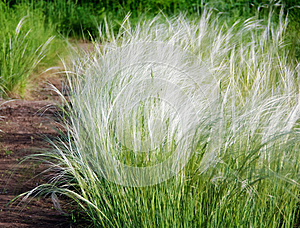 Stipa or feather grass