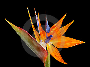 The strelitzia