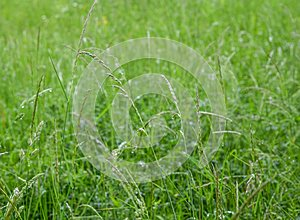 Texture of fresh green grass field used for background. Texture of bright long green grass meadow. Green grass. Natural background