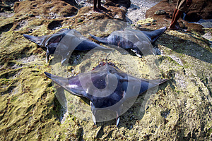 Three BIG Manta Ray.(Lamalera,Indonesia)