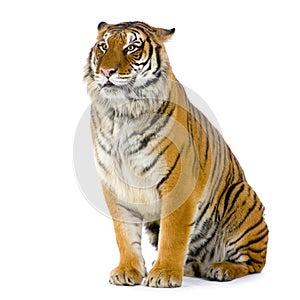 Tigersitzen