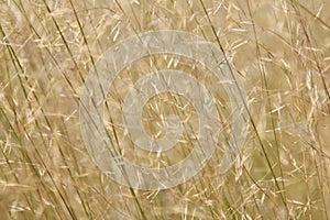 African Grass Fields - Savanna Seeds