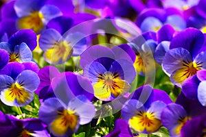 Violets In Spring