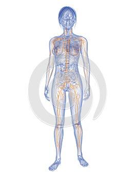 Weibliches Lymphsystem