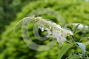 White butterfly-bush